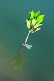Árbol joven que crece en agua fotos de archivo libres de regalías