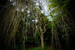 Árbol lánguido Foto de archivo libre de regalías