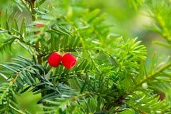 Árbol-largo-hígado, baccata venenoso de la taxus del árbol Fotos de archivo libres de regalías