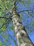 Árbol llano que pone en nuevo crecimiento Fotografía de archivo