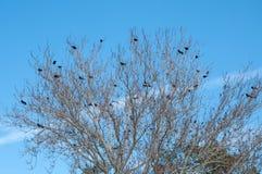 Árbol llenado de los cuervos Fotografía de archivo