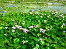 Árbol Lotus23 Fotografía de archivo libre de regalías