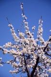 Árbol lujuriante floreciente con las flores blancas Fotos de archivo