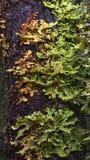 Árbol Lungwort Imagen de archivo libre de regalías