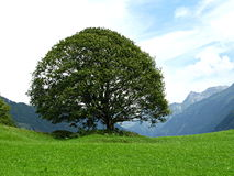 Árbol magnífico Foto de archivo libre de regalías