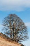 Árbol majestuoso Imagen de archivo