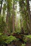 Árbol majestuoso de la secoya Fotos de archivo