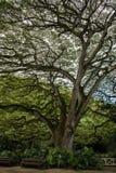 Árbol majestuoso en Oahu imágenes de archivo libres de regalías