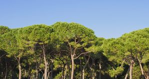 árbol marítimo del pino (Pinaceae del pinus) imagen de archivo