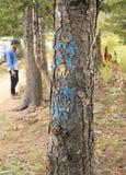 Árbol marcado del escarabajo del pino de montaña Imagen de archivo
