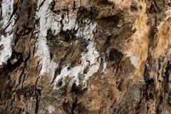 Árbol marrón viejo áspero Foto de archivo libre de regalías