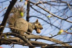 Árbol, masticando la tuerca Imagenes de archivo
