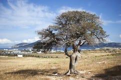 Árbol mediterráneo fotografía de archivo libre de regalías