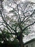 Árbol melancólico fotos de archivo