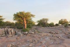 Árbol miniatura del baobab Imagen de archivo libre de regalías