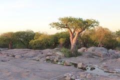 Árbol miniatura del baobab Foto de archivo