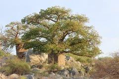 Árbol miniatura del baobab Imágenes de archivo libres de regalías
