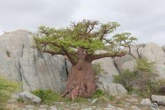 Árbol miniatura del baobab Imagen de archivo
