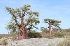 Árbol miniatura del baobab Fotos de archivo libres de regalías