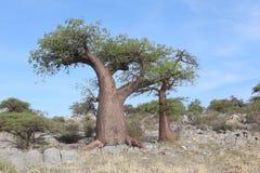 Árbol miniatura del baobab Foto de archivo libre de regalías