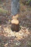 Árbol mordido castor Imagen de archivo