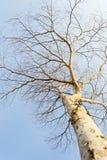 Árbol muerto aislado Fotografía de archivo