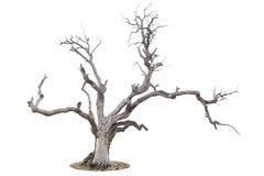 Árbol muerto aislado en blanco Imágenes de archivo libres de regalías