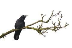 Árbol muerto con el cuervo fotos de archivo