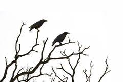 Árbol muerto con los cuervos aislados en blanco Fotografía de archivo libre de regalías