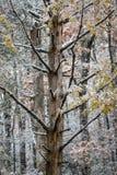Árbol muerto con nieve ligera en un paisaje de la caída o del invierno Foto de archivo libre de regalías