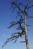 Árbol muerto contra un cielo azul Fotos de archivo libres de regalías