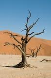 Árbol muerto del acacia en desierto Imagenes de archivo