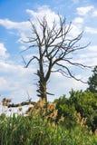 Árbol muerto en bosque Imágenes de archivo libres de regalías