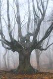 Árbol muerto en bosque brumoso Foto de archivo