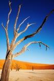 Árbol muerto en el desierto de Namib Fotos de archivo libres de regalías