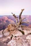 Árbol muerto en el parque nacional de Grand Canyon, Arizona, los E.E.U.U. Fotos de archivo