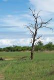 Árbol muerto en el parque nacional de Matusadona Fotos de archivo libres de regalías