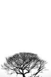 Árbol muerto en fondo blanco y negro Imagen de archivo