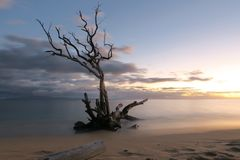 Árbol muerto en la línea de la playa Fotografía de archivo