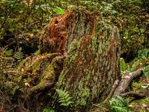 Árbol muerto en la lluvia Forest Trail fotografía de archivo libre de regalías