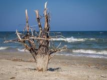 Árbol muerto en la playa de la arena Imagen de archivo