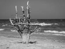 Árbol muerto en la playa de la arena Imagen de archivo libre de regalías