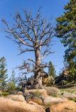 Árbol muerto gigante en rocas, mucha altitud en el bosque de la montaña, cielo azul y fondo verde del bosque Destruido por los pa Imagen de archivo libre de regalías