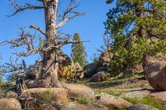 Árbol muerto solitario en rocas, mucha altitud en el bosque de la montaña, con un cielo azul y un fondo verde del bosque Destruid Imagen de archivo libre de regalías
