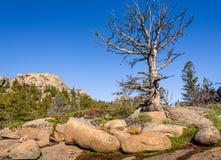 Árbol muerto solitario, gigante en rocas, mucha altitud en el bosque de la montaña, con un cielo azul y un fondo verde del bosque Imágenes de archivo libres de regalías