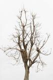 Árbol muerto, solo árbol viejo y muerto aislado en el fondo blanco Imágenes de archivo libres de regalías