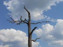 Árbol muerto viejo contra las nubes y el cielo azul Fotos de archivo