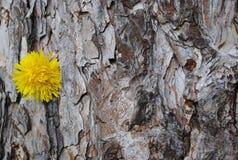 Árbol muy viejo con el diente de león Imagen de archivo libre de regalías