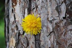 Árbol muy viejo con el diente de león 3 Fotos de archivo libres de regalías
