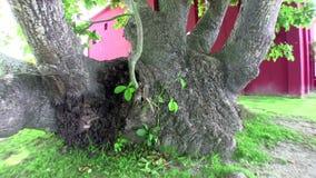 Árbol muy viejo en Cuba almacen de video